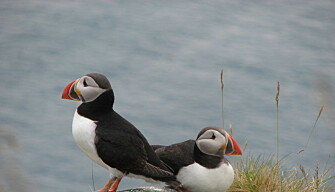 Puffins, photographed on Runde Island during early summer. Populations of puffins and other seabirds that nest on Runde's steep cliffs have dropped dramatically in recent years. (Photo: Rick Strimbeck/NTNU)