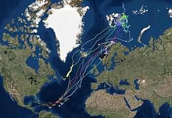 Humpback whales have been satellite tracked from the Arctic to the Caribbean. At the moment they are in the tropical island paradise to find their soul mate. (Map: Whale track/UiT The Arctic University of Norway)