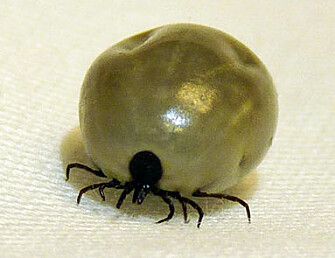 The tick Ixodes ricines. (Photo: Inger Sofie Hamnes, Norwegian Veterinary Institute)