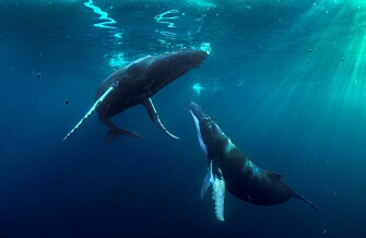 Atlantic giants meet in the Caribbean to mate or to give birth to their babies. (Photo: Audun Rikardsen)