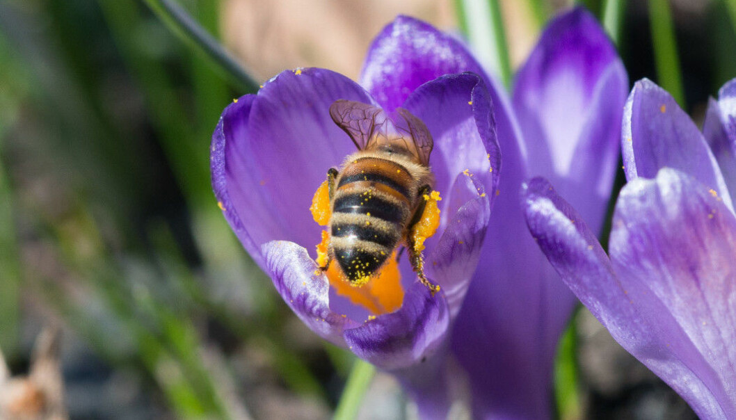 A honeybee collects pollen from a crocus. (Photo: Hallvard Elven, Natural History Museum)