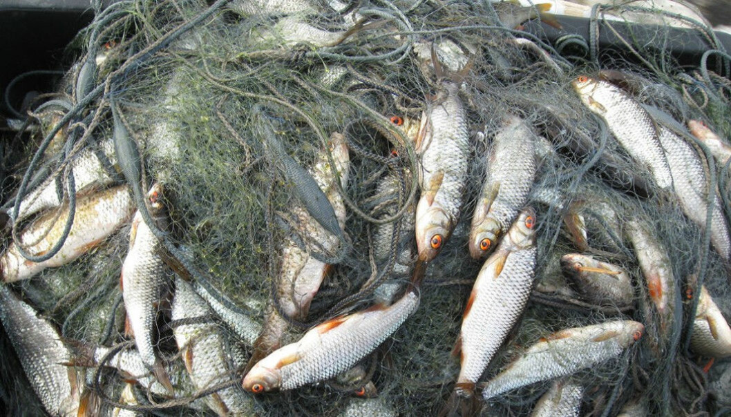 The gill net set full of roach captured from a murky lake. The mesh is discoloured by blue-green algae. (Photo: Kimmo Kahilainen, INN University).