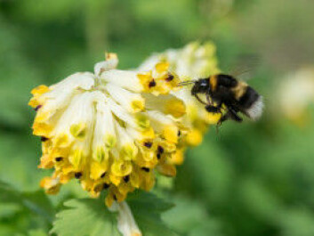 A garden bumblebee, Bombus hortorum, on a Siberian corydalis in the Oslo Botanical Garden. The garden bumblebee is one of the long-tongued bumblebee species. (Photo: Hallvard Elven / UiO Natural History Museum)
