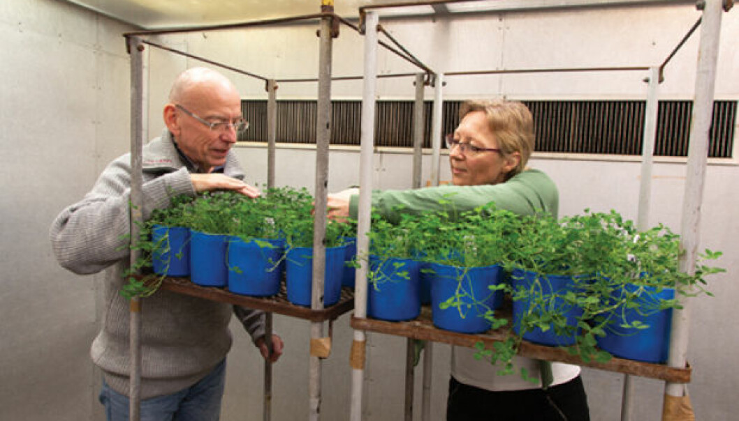 OZONE TEST: Frode Stordal and Ane Vollsnes are researching how plants are damaged by ozone. This is done in the phytotron, an advanced facility where it is possible to test what happens to plants under different climatic conditions. (Photo: Yngve Vogt)