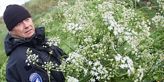 One of the staff of the Svalbard governor's office removes unwanted cow parsley in Barentsburg.(Photo: Christopher Engås, Svalbardsposten.