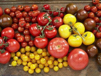 Chemistry and taste are closely linked in a tomato. This made it easy for researchers to create the new tomatoes you now find in the vegetable areas of supermarkets. (Photo: Synøve Dreyer, Opplysningskontoret for frukt og grønt, Creative Commons)