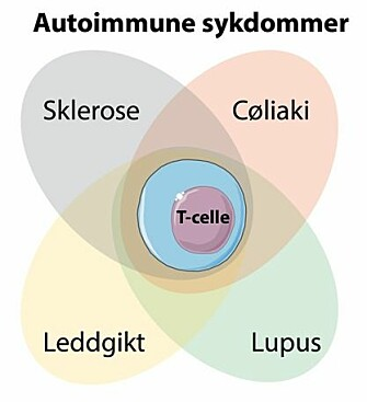 The researchers have found that a special type of T-cells is common to several autoimmune diseases. These cells recognize gluten in patients with coeliac disease. Now the goal is to find what they recognize in patients with other autoimmune diseases, as well as to disable such cells with targeted treatment. (Photo: SMART Servier Medical ART, modified by Asbjørn Christophersen)