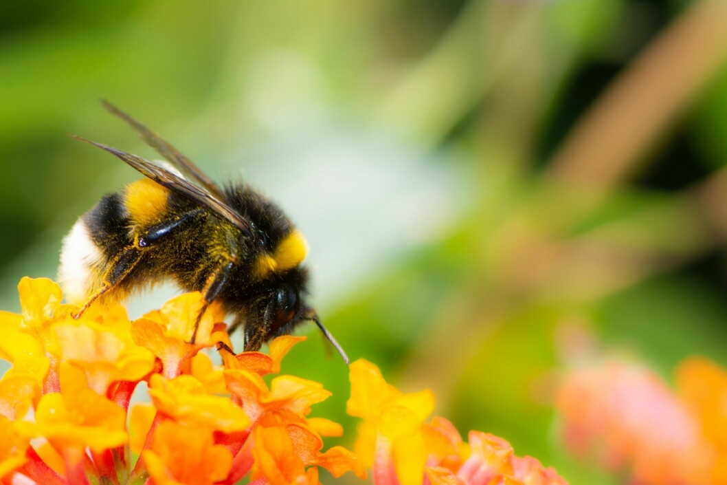 You can help the white-tailed bumblebee, too. (Bombus lucorum gr). (Photo: Colourbox)