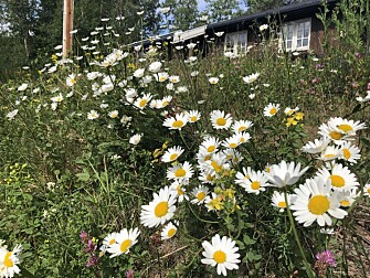 This was a well-groomed lawn seven years ago. By mowing it once a year, the owner has turned it into an insect haven. (Photo: Frode Ødegaard)