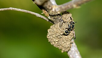 Harmless potter wasps (Ancistrocerus sp) may use an insect hotel. (Photo: Colourbox)