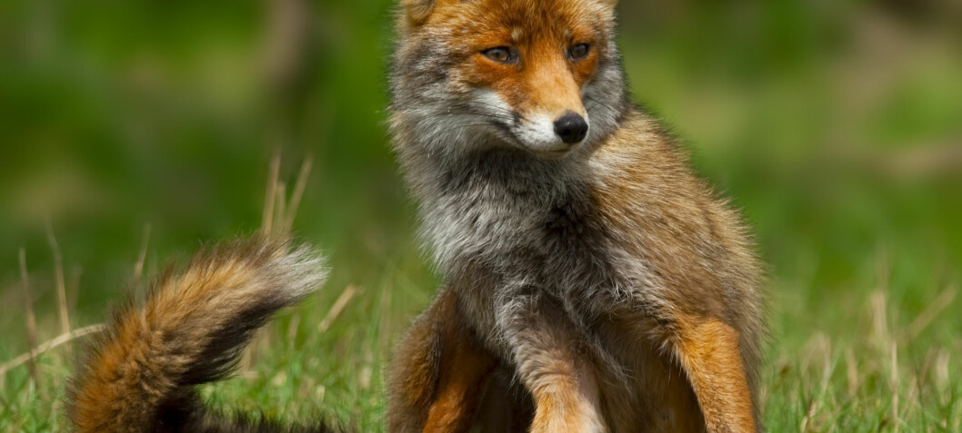 Half of Norwegian red foxes eat rat poison