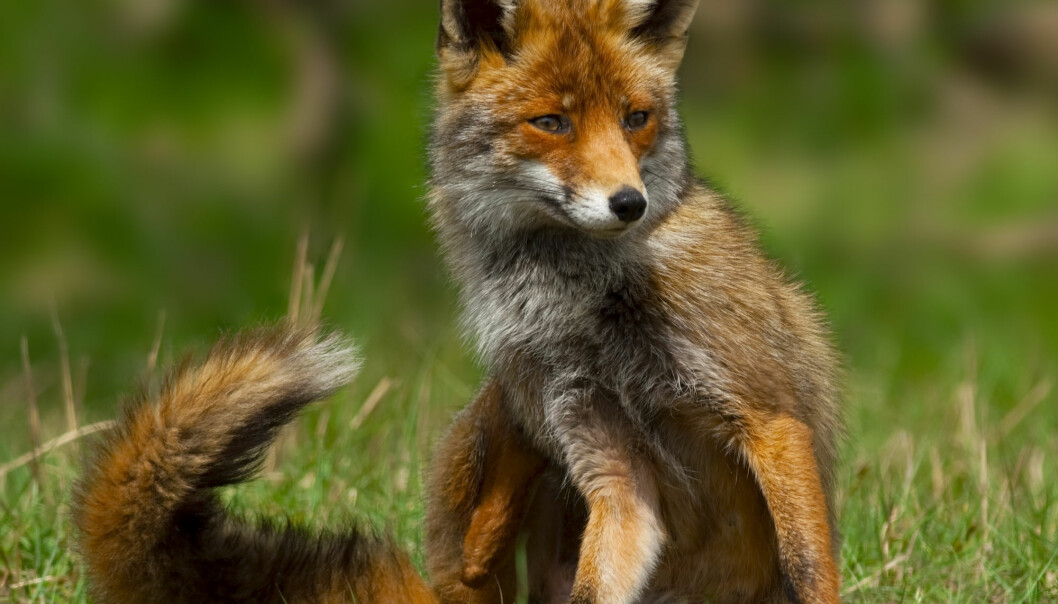 Rat poison residues have been found in over half of the red foxes that have been tested in Norway. (Photo: Arthur van der Kooij / Shutterstock / NTB scanpix)