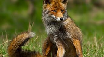 Half of Norwegian red foxes eat rat poison