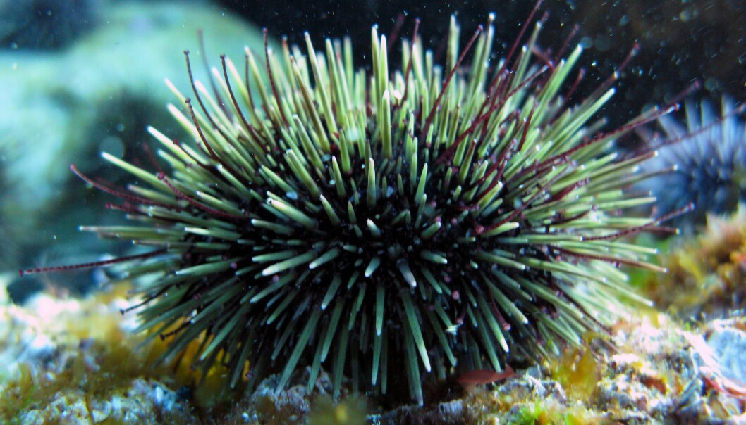 An oil spill in sea urchin dominated areas can have a critical impact on the intertidal communities. To prevent this to happen, managers should be prepared with customized action plans and apply them at the right places. (Photo: Janne Gitmark / NIVA)