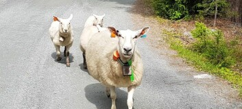 How annoying is it for sheep to wear a bell all summer long?