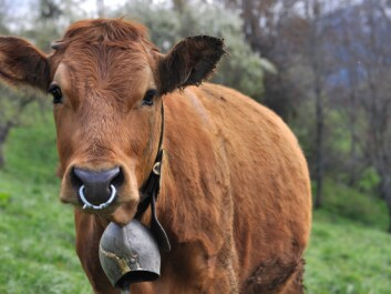Cows also wear bells during the summer, but there is no Norwegian research on how the constant bell sound affects cows, either. (Photo: Colourbox)