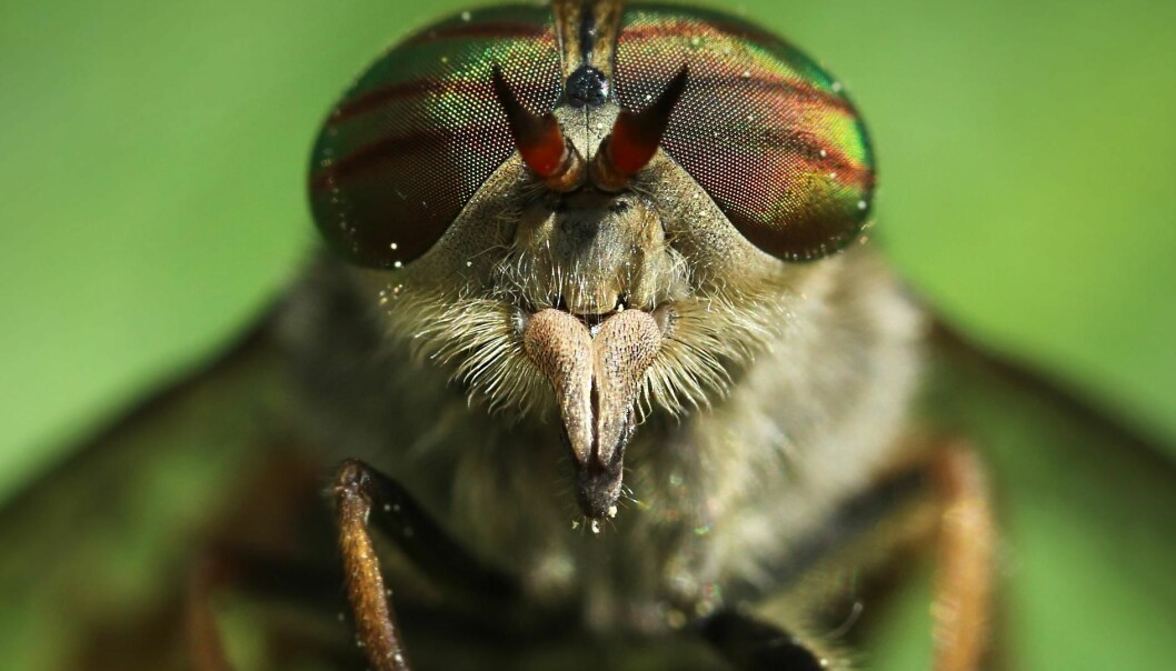 Horseflies have broad heads and large eyes with a metallic leather pattern. The fly in the picture is a female, because her eyes are divided. Only the female feeds on blood. Male horseflies can be identified because their eyes are grown together. (Photo: Colourbox)