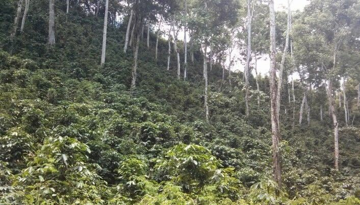 Both coffee and cocoa thrive best in the shade of other trees, says Kauê de Sousa. The problem is that these trees will also be affected by climate change. (Photo: Kauê de Sousa)