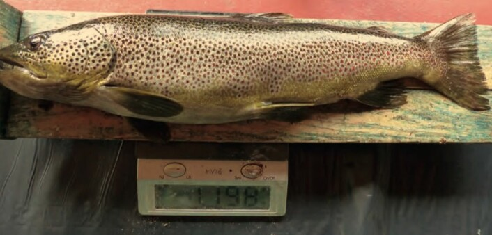 This trout, weighing almost 1.2 kilos, had a lemming, a mountain field mouse and a field mouse in its stomach. (Photo from the research article)