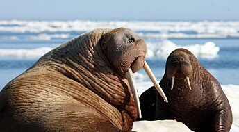 Vikings wiped out Iceland's walruses