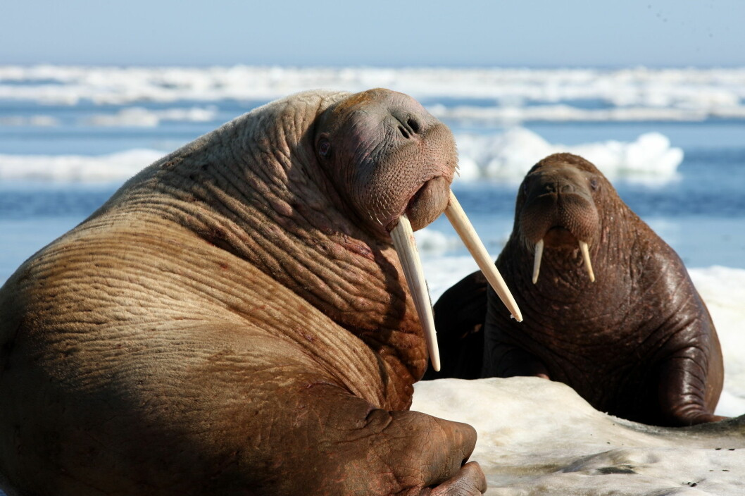 Walruses have been heavily hunted throughout the ages, but were totally protected in 1950. Today they live in mainly in East Greenland, Svalbard and Frans Josef's land (Photo: tryton2011 / Shutterstock / NTB scanpix)