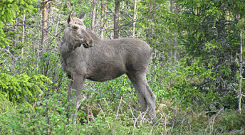 Return of Scandinavian wolves means fewer moose