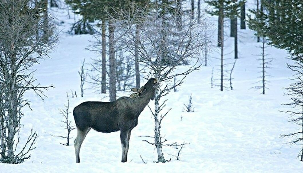 Grazing moose can cause a lot of damage to a forest. Can wolves help cut back on this damage by predating on moose? (Photo: SLU / INN / Kjell Erik Moseid)