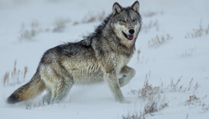 The most well-known story documenting how predators can affect an ecosystem is that of the reintroduction of wolves to Yellowstone National Park. Norwegian and Swedish researchers looked to see if the same holds true for wolves in Scandinavian ecosystems, but were not able to find a significant connection. (Photo: Agnieszka Bacal / Shutterstock / NTB Scanpix)