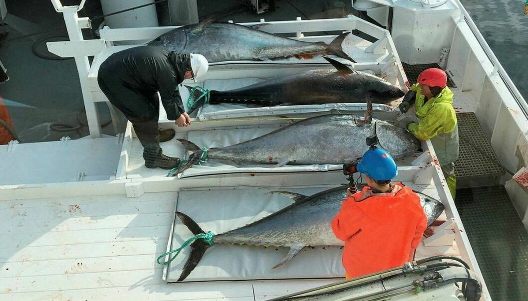 """""""Orfjord"""" took the first tuna catch of the year off Frøya in August. (Photo: Lars Kåre Kvila / """"Orfjord"""")"""