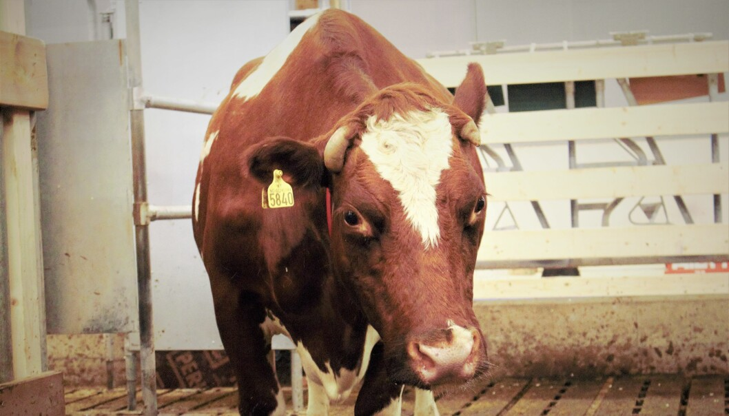 The Animal Production Experimental Centre is studying a new approach that allows a cow to stay with its calf, while the farmer gradually limits contact.