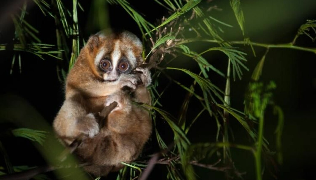 The Javan slow loris is an old species of primate, but has a rhythm of sleep similar to the more modern human rhythm. (Photo: Andrew Walmsley, Oxford Brookes University)
