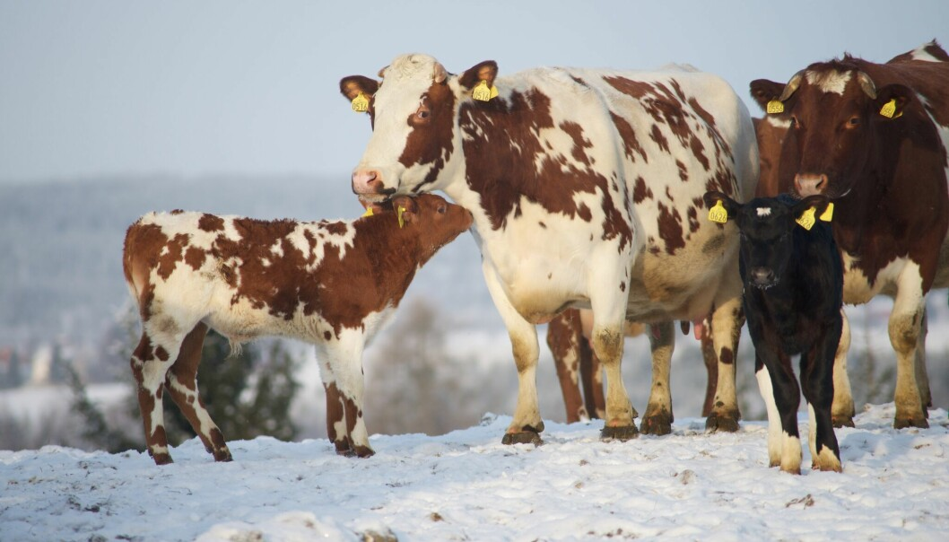 """When we started letting cows and their calves stay together, we saw amazing scenes from real life,"" says Grøndahl."