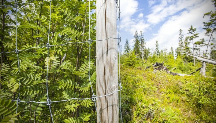 The difference between the inside and outside of the fence is huge. The deciduous forest thrives where moose don't have access.