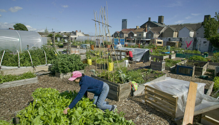Community member cultivating lettuce and harvesting raised bed on former football pitch – Vetch field – now community allotment, Swansea West Glamorgan, Wales, UK.