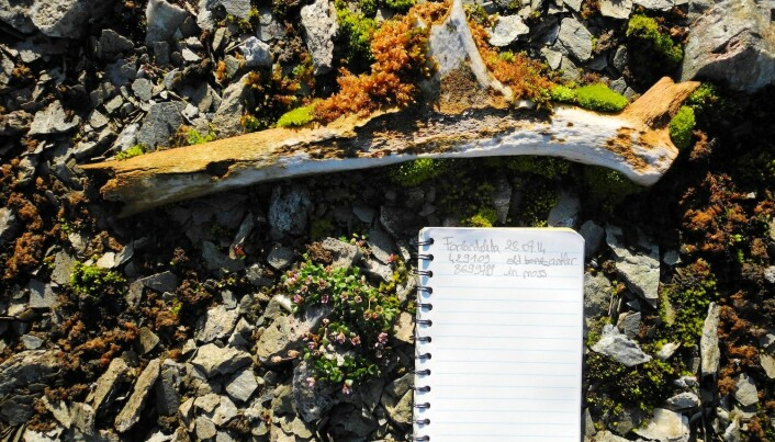 A 400-year-old reindeer antler that Le Moullec found on Prins Karls Forland.