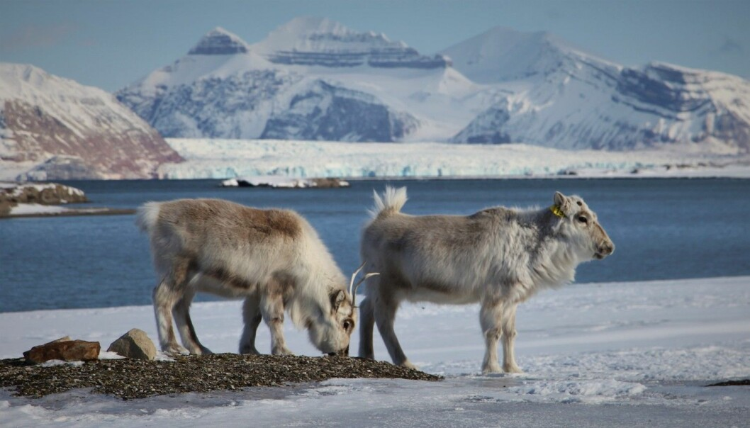 Reindeer grazing on an open patch of vegetation surrounded by ice and snow.