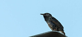 Why do starlings dance in the sky?