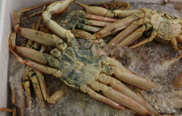 Snow crabs easily get blue or black spots.