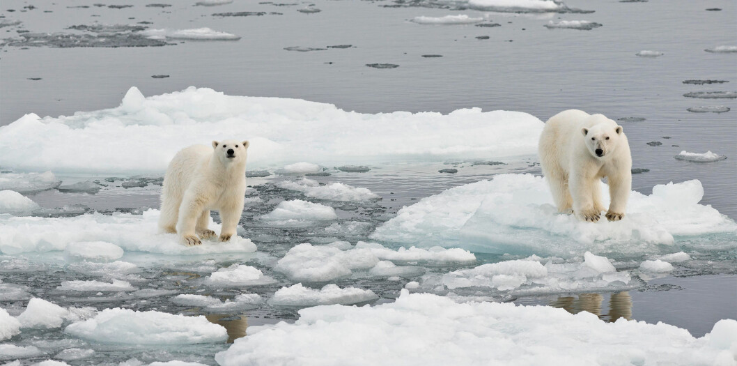 Melting summer sea ice makes it harder for polar bears for hunt seals and other prey. Some researchers think if the world doesn't do more to cut its carbon emissions, all summer Arctic sea ice will be gone by 2040