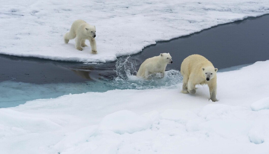 A polar bear (Ursus maritimus) mother with two cubs swimming between ice floes off of the Svalbard archipelago.