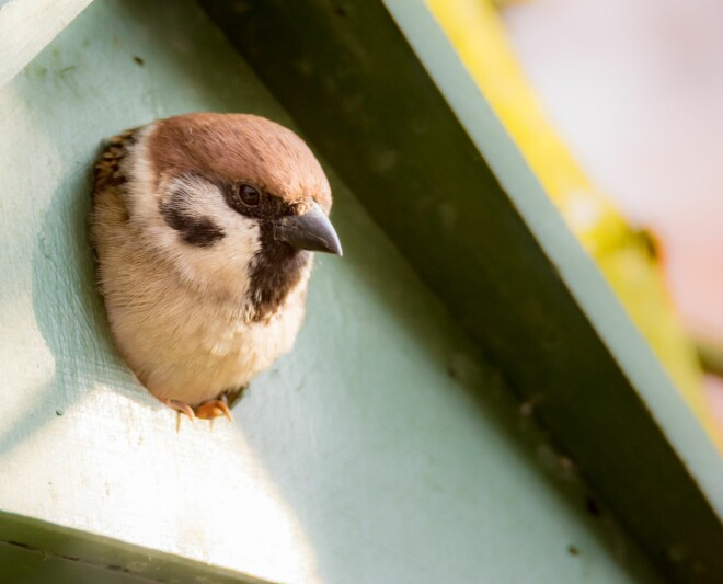Tree sparrows are happy to live in birdhouses.