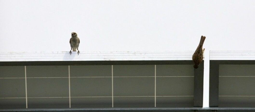 Sparrows on solar panel.
