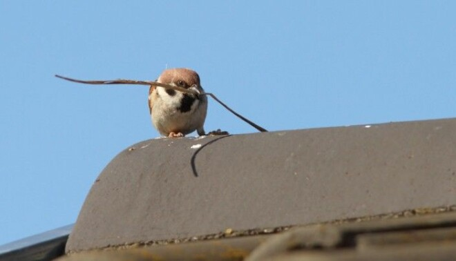 A tree sparrow in the process of building a nest on a roof?