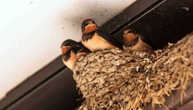 Young swallows in a nest under a roof.
