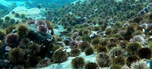 Norway's first onshore sea urchin farm up and running