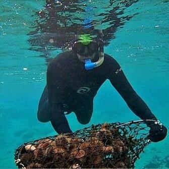 Harvesting sea urchins.
