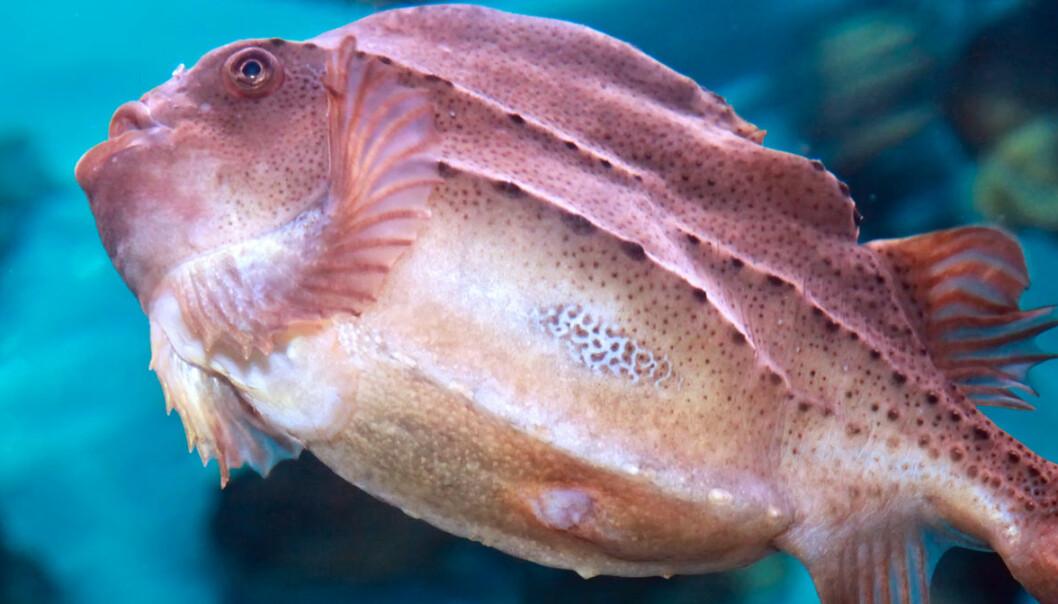 Norwegian fish farmers reprimanded for poor treatment of cleaner fish