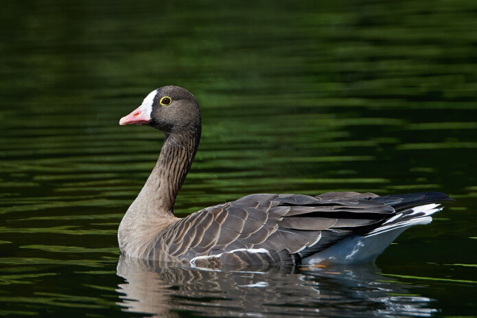 The populations of the lesser white-fronted goose declined dramatically in Lapland during the 1940s.
