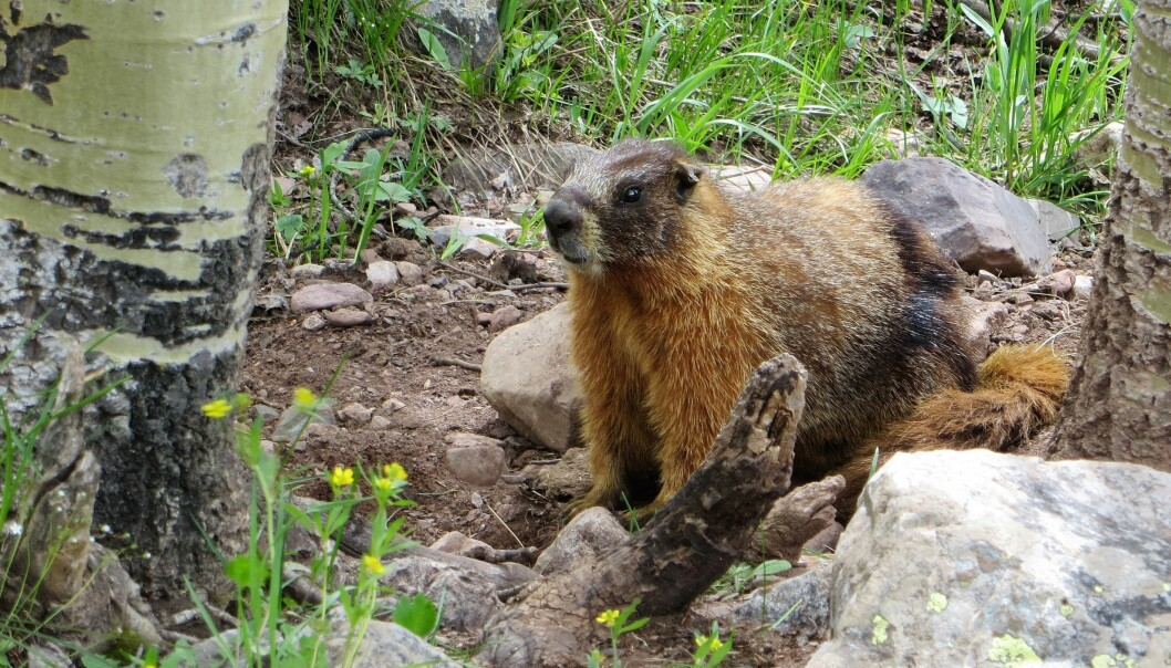 Yellow-bellied marmot at the Rocky Mountain Biological Laboratory.
