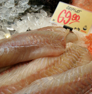 Saithe filet in the grogery store, as many are used to seeing the fish.